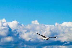 un gabbiano vola su uno sfondo di soffici nuvole. foto