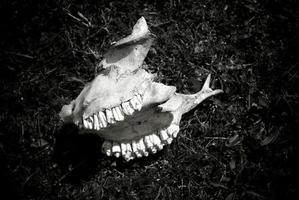 immagine in bianco e nero di un teschio di animale con i denti.