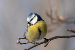 primo piano di un uccello blu e giallo tit foto