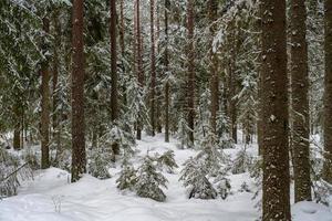 bosco di pini e abeti in inverno foto