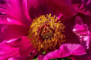 rosa peonia cinese foto
