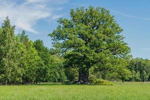 quercia in un campo verde foto