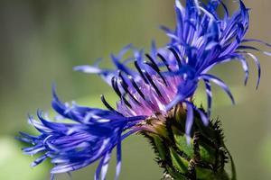 primo piano di un fiore blu foto