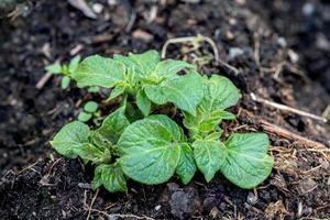 pianta di patata che inizia a crescere foto