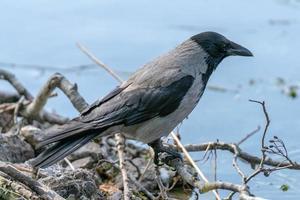 grande corvo seduto vicino all'acqua foto
