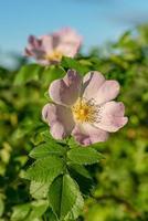 rosa tondo lasciava rosa canina nel sole estivo foto