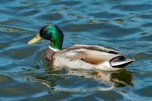 Mallard duck nuotare in acqua blu foto