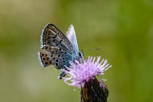 primo piano di una farfalla blu borchiata d'argento foto