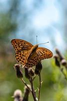 bella grande farfalla maculata arancione e nera foto