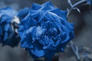 primo piano di una rosa blu foto
