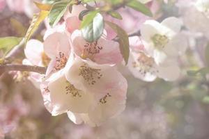 primo piano, di, chaenomeles, japonica, o giapponese, mela cotogna, o, maule, mela cotogna, fiori, con, uno, sfocato, fondo foto