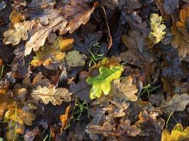 lettiera di foglie di quercia su un pavimento di bosco nel tardo autunno foto