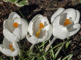 Close up di fiori di croco bianco con stami gialli foto