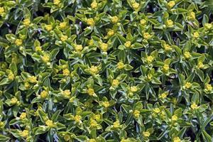 euphorbia acanthothamnos - euforbia spinosa greca, creta foto