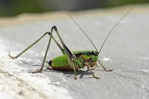 eupholidoptera schmidti - il bush-cricket marmorizzato di schmidt, grecia foto