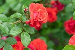 primo piano di rose rosse con uno sfondo verde sfocato di foglie foto