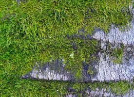 primo piano della corteccia di albero ricoperta di muschio foto