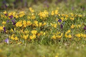 ranuncolo giallo che fiorisce sul grande prato foto