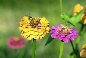 ape sui fiori di cynia da vicino foto