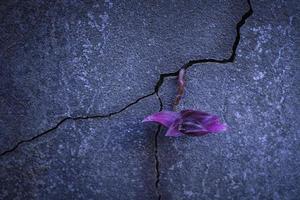 pianta viola che cresce dal cemento foto