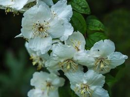 fiore bianco su un dolce finto cespuglio d'arancio, filadelfo foto