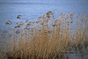 canne mosse dal vento accanto a un lago foto