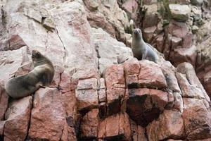 leoni marini sulle scogliere dell'isola di ballestas foto