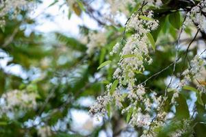 Shorea fiori o fiori bianchi meranti che sbocciano sull'albero foto