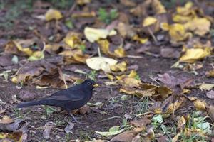 uccello di colore nero nel suo habitat naturale sull'erba verde primaverile foto
