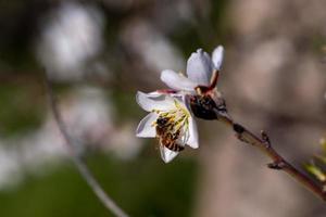 ape su un mandorlo in fiore foto