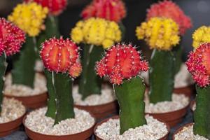 cactus innestati di colore gymnocalycium mihanovichii foto