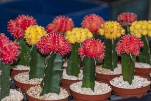 colorato gymnocalycium mihanovichii innesto cactus foto