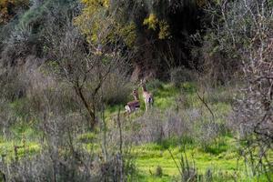 il gerenuk tra le piante della savana foto
