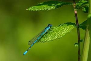 Primo piano di una libellula blu su una foglia verde foto