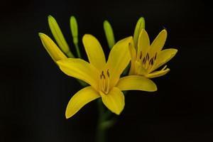 Close up di gigli gialli su fondo nero foto