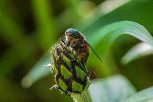 primo piano di una mosca cavallo seduto su un bocciolo di fiore foto