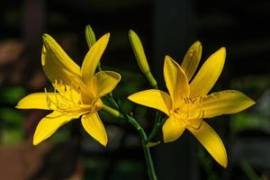 Close up di vibranti gigli gialli foto
