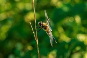 primo piano di una libellula seduta su una paglia d'erba foto