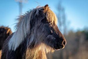ritratto laterale di un cavallo islandese color argento punteggiato foto