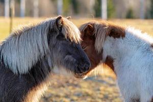 due cavalli islandesi in piedi faccia a faccia foto