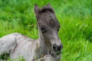 puledro islandese sdraiato nell'erba verde foto