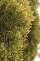 alberi di pino del primo piano per la trama foto