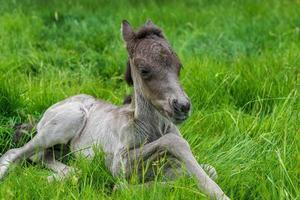primo piano di un puledro cavallo islandese sdraiato sull'erba foto