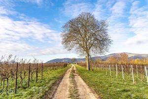 il noce nudo si erge su un sentiero tra le viti in inverno contro un cielo nuvoloso blu foto