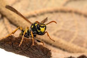 ritratto di una vespa campo casa strisciare su una foglia foto