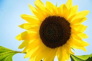 girasole in fiore sotto il sole estivo su uno sfondo di cielo blu foto