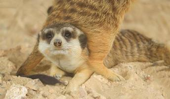 suricati stanno giocando tra loro divertendosi foto