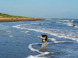 Cane sguazzare in mare a Mablethorpe Beach, Lincolnshire, Inghilterra foto