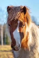 cavallo pinto marrone e bianco foto