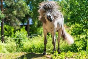 cavallo che scuote la criniera foto